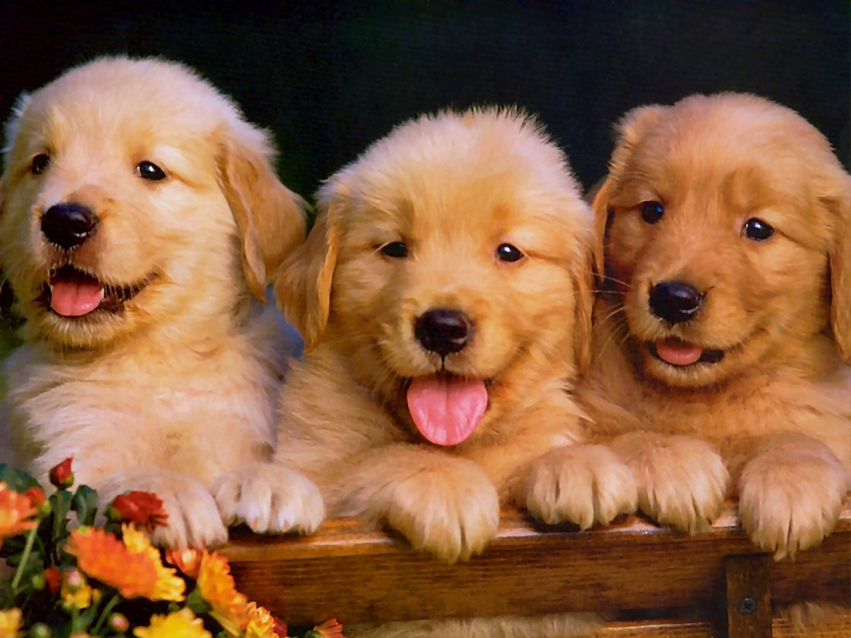 Golden Retriever pugs